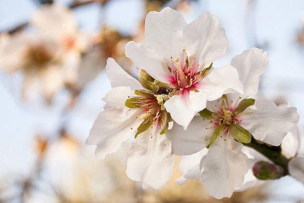 mandolro in fiore